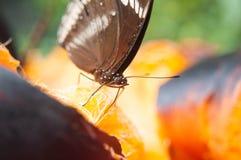 Η καφετιά πεταλούδα απορροφά το νέκταρ από το palmyra Στοκ φωτογραφία με δικαίωμα ελεύθερης χρήσης
