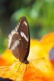 Η καφετιά πεταλούδα απορροφά το νέκταρ από το palmyra Στοκ Φωτογραφία