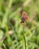 Η καφετιά πεταλούδα Argus Στοκ Φωτογραφίες