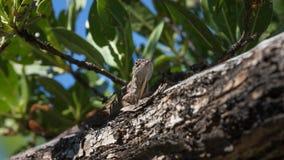 Η καφετιά σαύρα Anole σε ένα δέντρο, Tavernier, κλειδώνει βραδύτατο, Φλώριδα Στοκ Φωτογραφίες