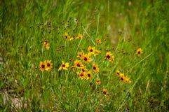Η καφετιά eyed Susan wildflower Στοκ Φωτογραφίες