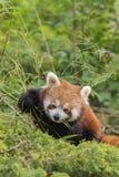 Η καφετιά Panda Στοκ φωτογραφίες με δικαίωμα ελεύθερης χρήσης