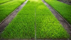 Η καλλιέργεια του ρυζιού Στοκ Εικόνες