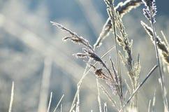 η καλυμμένη χλόη παγετού hoar βγάζει φύλλα τη μέντα Στοκ Εικόνες