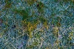 η καλυμμένη χλόη παγετού hoar βγάζει φύλλα τη μέντα Στοκ Εικόνα