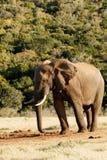 Η καλύτερη ΠΛΕΥΡΑ μου - αφρικανικός ελέφαντας του Μπους Στοκ φωτογραφία με δικαίωμα ελεύθερης χρήσης