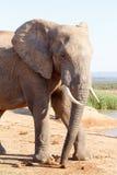 Η καλύτερη πλευρά μου σήμερα - αφρικανικός ελέφαντας του Μπους Στοκ εικόνες με δικαίωμα ελεύθερης χρήσης