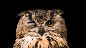 Η κερασφόρος κουκουβάγια με ένα ανοικτό μάτι Απομονωμένος σε μια μαύρη ανασκόπηση στοκ εικόνα με δικαίωμα ελεύθερης χρήσης