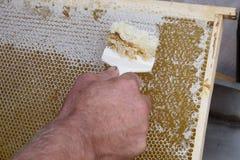 Η κηρήθρα θα ανοίξει για το μέλι συγκομιδών Στοκ Εικόνες