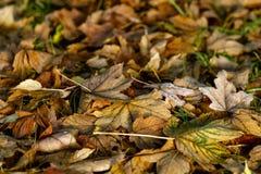 η κινηματογράφηση σε πρώτο πλάνο ανασκόπησης φθινοπώρου χρωματίζει το φύλλο κισσών πορτοκαλί Πεσμένα ξηρά φύλλα φθινοπώρου Στοκ Εικόνες