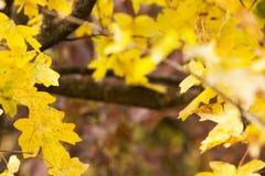 η κινηματογράφηση σε πρώτο πλάνο ανασκόπησης φθινοπώρου χρωματίζει το φύλλο κισσών πορτοκαλί Στοκ εικόνες με δικαίωμα ελεύθερης χρήσης