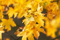 η κινηματογράφηση σε πρώτο πλάνο ανασκόπησης φθινοπώρου χρωματίζει το φύλλο κισσών πορτοκαλί Στοκ Εικόνα
