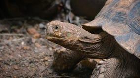 Η κινηματογράφηση σε πρώτο πλάνο αφρικανικού κεντρισμένου Tortoise ή το sulcata