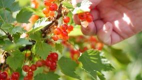 Η κινηματογράφηση σε πρώτο πλάνο δίνει τους καρπούς επιλογής των μούρων κόκκινων σταφίδων από τους θάμνους στο θερινό κήπο, εποχή απόθεμα βίντεο
