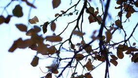 Η κινηματογράφηση σε πρώτο πλάνο, ενάντια στο μπλε ουρανό, ένα δέντρο διακλαδίζεται με τα κιτρινισμένα, ξηρά φύλλα πτώση αργά απόθεμα βίντεο
