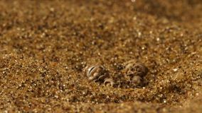 Η κινηματογράφηση σε πρώτο πλάνο ενός αθροιστή αμμόλοφων ή sidewinder ενός φιδιού που βάζει στην ενέδρα μυρίζει τον αέρα στοκ εικόνες