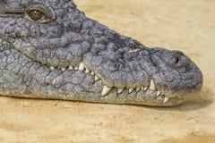 Η κινηματογράφηση σε πρώτο πλάνο ενός αλλιγάτορα, κροκόδειλοι είναι μεγάλα υδρόβια ερπετά τ στοκ φωτογραφίες με δικαίωμα ελεύθερης χρήσης