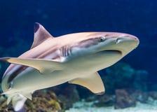 Η κινηματογράφηση σε πρώτο πλάνο ενός μαύρου καρχαρία σκοπέλων ακρών, τροπικό κοντινό απειλητικό specie ψαριών διαμορφώνει τον Ιν στοκ εικόνες
