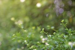 Η κινηματογράφηση σε πρώτο πλάνο εστίασης σημείων, πράσινα φύλλα θόλωσε bokeh και δίκαιος φακός ως υπόβαθρο στο φυσικό κήπο το βρ στοκ φωτογραφίες με δικαίωμα ελεύθερης χρήσης