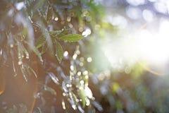 Η κινηματογράφηση σε πρώτο πλάνο εστίασης σημείων, πράσινα φύλλα θόλωσε bokeh και δίκαιος φακός ως υπόβαθρο στο φυσικό κήπο στην  στοκ εικόνα