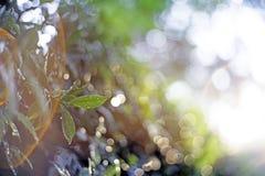 Η κινηματογράφηση σε πρώτο πλάνο εστίασης σημείων, πράσινα φύλλα θόλωσε bokeh και δίκαιος φακός ως υπόβαθρο στο φυσικό κήπο στην  στοκ εικόνες με δικαίωμα ελεύθερης χρήσης