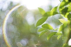 Η κινηματογράφηση σε πρώτο πλάνο εστίασης σημείων, πράσινα φύλλα θόλωσε bokeh και δίκαιος φακός ως υπόβαθρο στο φυσικό κήπο στην  στοκ φωτογραφία με δικαίωμα ελεύθερης χρήσης