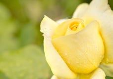 Η κινηματογράφηση σε πρώτο πλάνο κίτρινου αυξήθηκε με τις απελευθερώσεις βροχής στον κήπο Στοκ Εικόνες