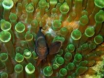 Η κινηματογράφηση σε πρώτο πλάνο και η μακροεντολή που πυροβολούνται του anemonefish ο το δυτικό κλόουν αλιεύουν, η ομορφιά του υ στοκ εικόνες