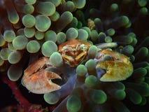 Η κινηματογράφηση σε πρώτο πλάνο και η μακροεντολή πυροβόλησαν το καβούρι πορσελάνης στο anemone ταπήτων, η ομορφιά του υποβρύχιο στοκ εικόνες