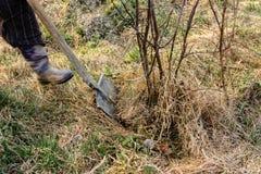 Η κινηματογράφηση σε πρώτο πλάνο, κηπουροί την άνοιξη προσπαθεί να αφαιρέσει ένα ξηρό δέντρο, που βγάζει τις ρίζες της με ένα φτυ στοκ εικόνες