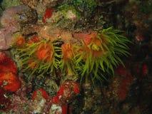 Η κινηματογράφηση σε πρώτο πλάνο με το μαλακό κοράλλι κατά τη διάρκεια της νύχτας βουτά σε Sabah, Μπόρνεο στοκ εικόνες