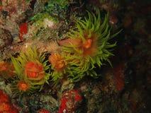 Η κινηματογράφηση σε πρώτο πλάνο με το μαλακό κοράλλι κατά τη διάρκεια της νύχτας βουτά σε Sabah, Μπόρνεο στοκ εικόνες με δικαίωμα ελεύθερης χρήσης