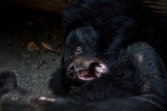 Η κινηματογράφηση σε πρώτο πλάνο στο πρόσωπο του ενήλικου Μαύρου της Φορμόζας αφορά το δάσος στοκ φωτογραφία με δικαίωμα ελεύθερης χρήσης