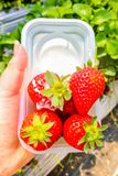 Η κινηματογράφηση σε πρώτο πλάνο της μεγάλης φράουλας στο άσπρο κύπελλο με γλυκαμένος συμπυκνώνει στοκ φωτογραφία με δικαίωμα ελεύθερης χρήσης