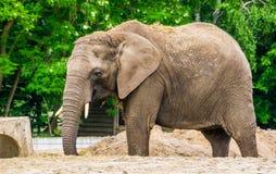 Η κινηματογράφηση σε πρώτο πλάνο του α ο αφρικανικός ελέφαντας με τη χλόη της πίσω, τρωτό ζωικό specie από την Αφρική στοκ εικόνα με δικαίωμα ελεύθερης χρήσης