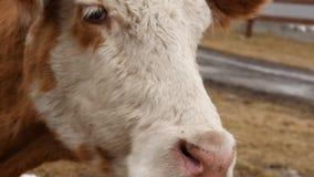 Η κινηματογράφηση σε πρώτο πλάνο του κεφαλιού μιας αγελάδας μασά τη χλόη αγρόκτημα βοοειδών 4K φιλμ μικρού μήκους