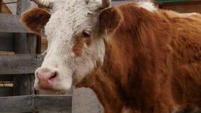 Η κινηματογράφηση σε πρώτο πλάνο του κεφαλιού μιας αγελάδας μασά τη χλόη αγρόκτημα βοοειδών κίνηση αργή απόθεμα βίντεο