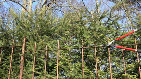 Η κινηματογράφηση σε πρώτο πλάνο του κηπουρού έκοψε το φράκτη δέντρων έλατου με τους κόκκινους κουρευτές ζώων 4K απόθεμα βίντεο