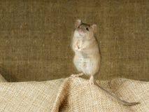 Η κινηματογράφηση σε πρώτο πλάνο το ποντίκι στέκεται στα οπίσθια πόδια της σε μια μικρή τσάντα λινού στο υπόβαθρο της μεγάλης τσά στοκ εικόνα