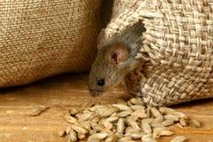 Η κινηματογράφηση σε πρώτο πλάνο το vole ποντίκι παίρνει από την τρύπα στο σάκο του σιταριού στην αποθήκη στοκ εικόνες
