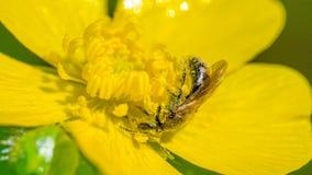 Η κινηματογράφηση σε πρώτο πλάνο των ειδών μελισσών απολύτως και τυλιγμένος από την κίτρινη γύρη - κίτρινο λουλούδι Porcupine στο στοκ φωτογραφία