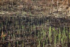 Η κινηματογράφηση σε πρώτο πλάνο των νέων plantlets μετά από την πυρκαγιά στοκ φωτογραφίες με δικαίωμα ελεύθερης χρήσης