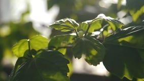 Η κινηματογράφηση σε πρώτο πλάνο των πράσινων φύλλων κάποιου φυτού έλαμψε από το φως του ήλιου σε έναν βοτανικό κήπο Μήκος σε πόδ απόθεμα βίντεο