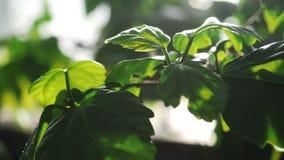 Η κινηματογράφηση σε πρώτο πλάνο των πράσινων φύλλων κάποιου φυτού έλαμψε από το φως του ήλιου σε έναν βοτανικό κήπο r Εγκαταστάσ απόθεμα βίντεο