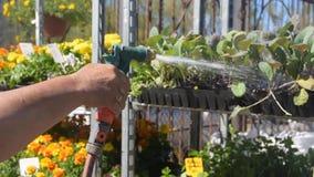 Η κινηματογράφηση σε πρώτο πλάνο των χεριών με το πότισμα μπορεί λουλούδια ποτίσματος φιλμ μικρού μήκους
