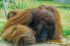 Η κινηματογράφηση σε πρώτο πλάνο bornean orangutan, μεγάλος πίθηκος από την Ασία, διακινδύνεψε αυστηρά ζωικό specie στοκ εικόνες