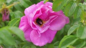 Η κινηματογράφηση σε πρώτο πλάνο Bumblebee συλλέγει το μέλι ή η γύρη στην άνθιση ρόδινη αυξήθηκε απόθεμα βίντεο