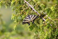 Η κινηματογράφηση σε πρώτο πλάνο podalirius Podalirius Iphiclides πεταλούδων Στοκ Φωτογραφία