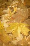 η κινηματογράφηση σε πρώτο πλάνο ανασκόπησης φθινοπώρου χρωματίζει το φύλλο κισσών πορτοκαλί Στοκ Φωτογραφίες