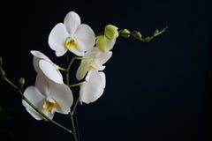Η κινηματογράφηση σε πρώτο πλάνο ανθίζει το άσπρο orchidea που απομονώνεται σε ένα σκοτεινό υπόβαθρο Στοκ Φωτογραφία